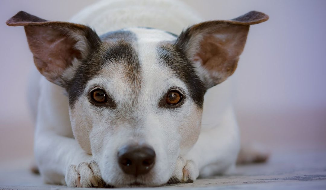 Canine Arthritis Benefits from Stem Cell Treatments
